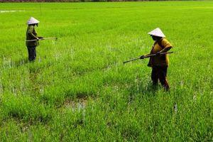 Tăng cường thăm đồng chăm sóc và bảo vệ lúa hè thu