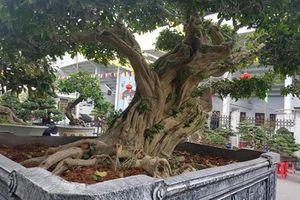 Những 'quái cây' nhìn như củi khô mà giá hàng trăm triệu tới vài tỷ