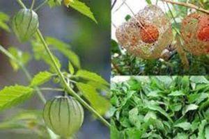 Mọc bờ, mọc bụi ở Việt Nam chả ai thèm, những loại cây củ này 'xuất ngoại' lại hàng hiếm