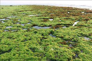 Quảng Ninh có điều kiện thuận lợi để phát triển cây rong biển