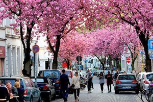 Hoa anh đào nở rộ trên các con phố ở Bonn, Đức
