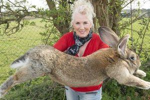 Con thỏ lớn nhất thế giới bị bắt trộm