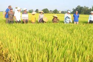 Mê mẩn tập đoàn giống lúa mới của VinaSeed trên đất Bình Định