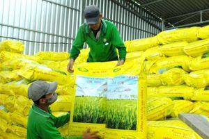 Sôi động thị trường lúa giống vụ hè thu