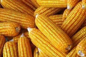 Nghiên cứu chế biến một số sản phẩm từ ngô cho vùng dân tộc thiểu số