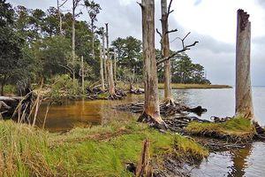 Nan giải hiện tượng cây cối chết, biến thành 'rừng ma' ở Mỹ