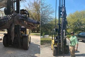 Bắt được cá sấu khổng lồ gần 4m, mổ bụng phát hiện điều kinh khiếp