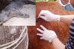 Lợn chết la liệt, bò nổi u cục khắp nơi ở Nghệ An