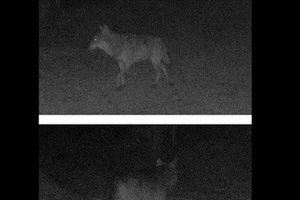 Sói xám lang thang một mình trong đêm tìm bạn tình