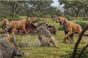 Giải mã lý do khiến loài sói săn cả voi ma mút tuyệt chủng
