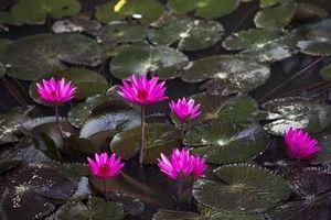 Ngất ngây với sắc tím mùa hoa súng suối Yến, chùa Hương