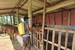 Quyết liệt phòng, chống bệnh viêm da nổi cục trên trâu, bò