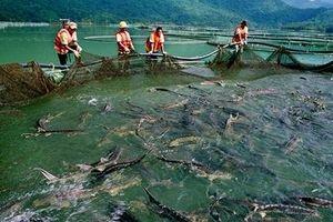 Chặn cá tầm không thuần chủng 'bơi' vào Việt Nam
