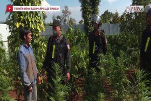 Phát hiện 5 vụ trồng cần sa trái phép quy mô lớn
