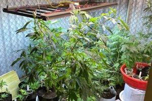 Nam thanh niên trồng 50 cây cần sa có hệ thống tưới tiêu ở Quảng Ninh