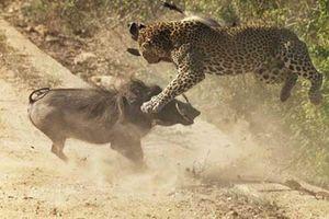 Lợn rừng mẹ phẫn nộ, húc tung báo đốm cứu con