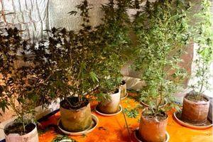 Lắp điều hòa, đèn điện chiếu sáng... để trồng cây thuốc phiện
