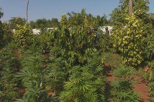 Đầu tư đèn Led chiếu tia cực tím quy mô 'khủng' trồng cần sa tại Đắk Lắk