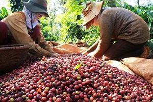 Giá cà phê hôm nay 14/4: Tiếp tục tăng điểm; Lực cầu bị dồn nén sẽ bật tăng trở lại?