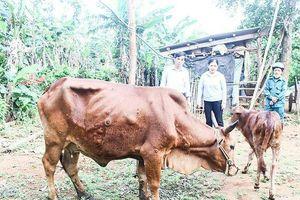 Bệnh viêm da nổi cục lây lan rất nhanh ở Quảng Trị
