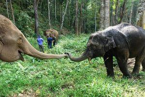 Tương lai nào cho những chú voi 'thất nghiệp'?