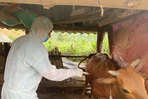 Triệu Sơn: 34/34 xã, thị trấn tiêm phòng vắc xin phòng bệnh Viêm da nổi cục trên đàn trâu bò