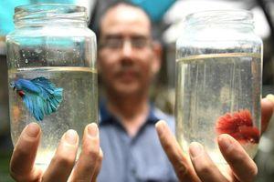 Kiếm nửa tỷ đồng mỗi năm nhờ nuôi cá chọi ở Hà Nội