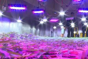 Lắp đèn led chiếu tia cực tím để trồng cần sa