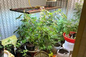 Phát hiện đối tượng trồng trái phép 50 cây cần sa tại nhà riêng ở Quảng Ninh