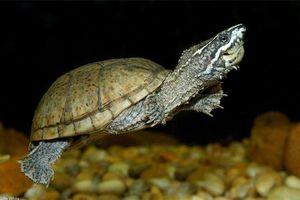 Cận cảnh loài rùa có mùi thối khiến kẻ thù sợ phát khiếp