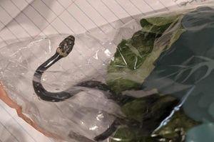 Hoảng hồn phát hiện rắn độc trong túi rau diếp mua tại siêu thị