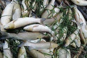 Điều tra nguyên nhân cá chết hàng loạt trên sông Mã