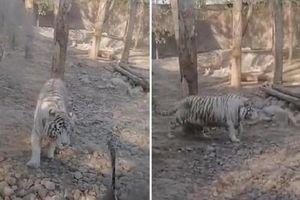 Clip 2 con hổ to lớn, dữ tợn bị ngỗng rượt đuổi 'chạy té khói'