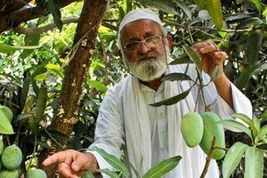 Cây xoài 'thần kỳ' của cụ ông 80 tuổi có 300 giống quả