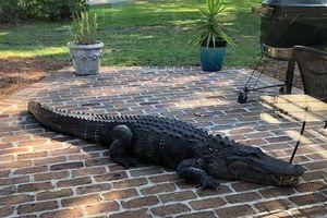Florida cảnh giác trước mùa cá sấu tìm bạn tình