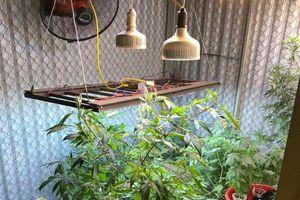 Phát hiện đối tượng ở Quảng Ninh trồng trái phép 50 cây cần sa tại nhà