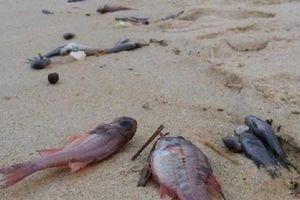 Cá chết dọc bờ biển Nghi Thiết không phải do nước