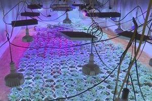 Đầu tư hệ thống đèn LED trồng cần sa trong phố núi