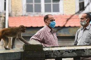 Khỉ hợp thành 'băng nhóm' trộm cướp táo tợn và sự thật phía sau