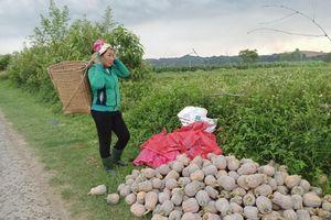Nghệ An: Giá bí đỏ giảm sâu, nhà nông thu hoạch cầm chừng