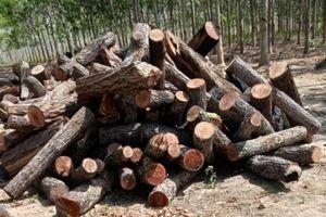 Chủ tịch Gia Lai chỉ đạo điều tra phá rừng sau phản ánh của Báo Giao thông