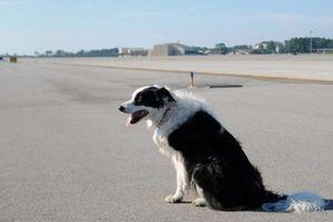 Sau vụ chó 'đột nhập' sân bay Cam Ranh, Cục Hàng không Việt Nam ra chỉ đạo khẩn