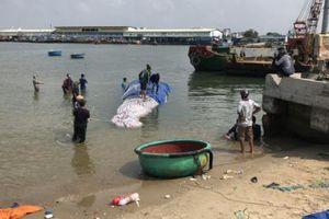 Cá voi dài hơn 15m bị chết được đưa vào bờ
