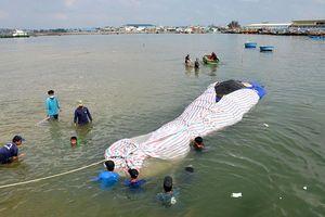 Cá voi dài 16 mét, nặng hơn sáu tấn chết ở vùng biển Bình Thuận