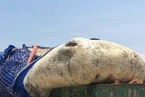 Bình Thuận: Kéo cá ông nặng gần 5 tấn lụy ngoài khơi vào bờ