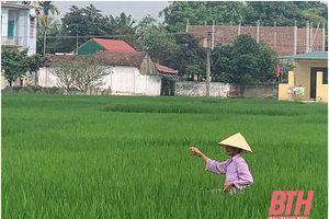 Xã Đông Hoàng xây dựng chuỗi cung ứng lúa gạo