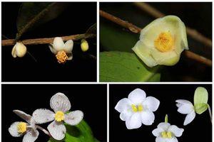 Công bố bốn loài thực vật mới có xuất xứ từ Vườn quốc gia Bidoup-Núi Bà
