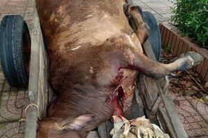 Buộc tiêu hủy bò thịt không rõ nguồn gốc tại nhà 1 hộ dân