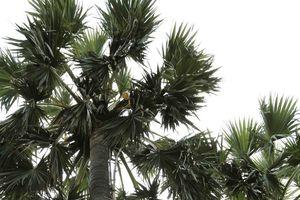Thốt nốt - loại cây đặc trưng của vùng Bảy núi An Giang