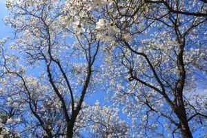 Nga: Du khách đổ về miền Nam ngắm hoa dù bị hạn chế vì dịch